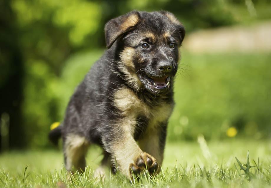 Buy German Shepherd Puppy For Sale In Spain