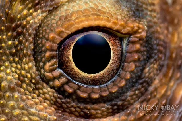 Crested Lizard (Agamidae) - DSC_3326b