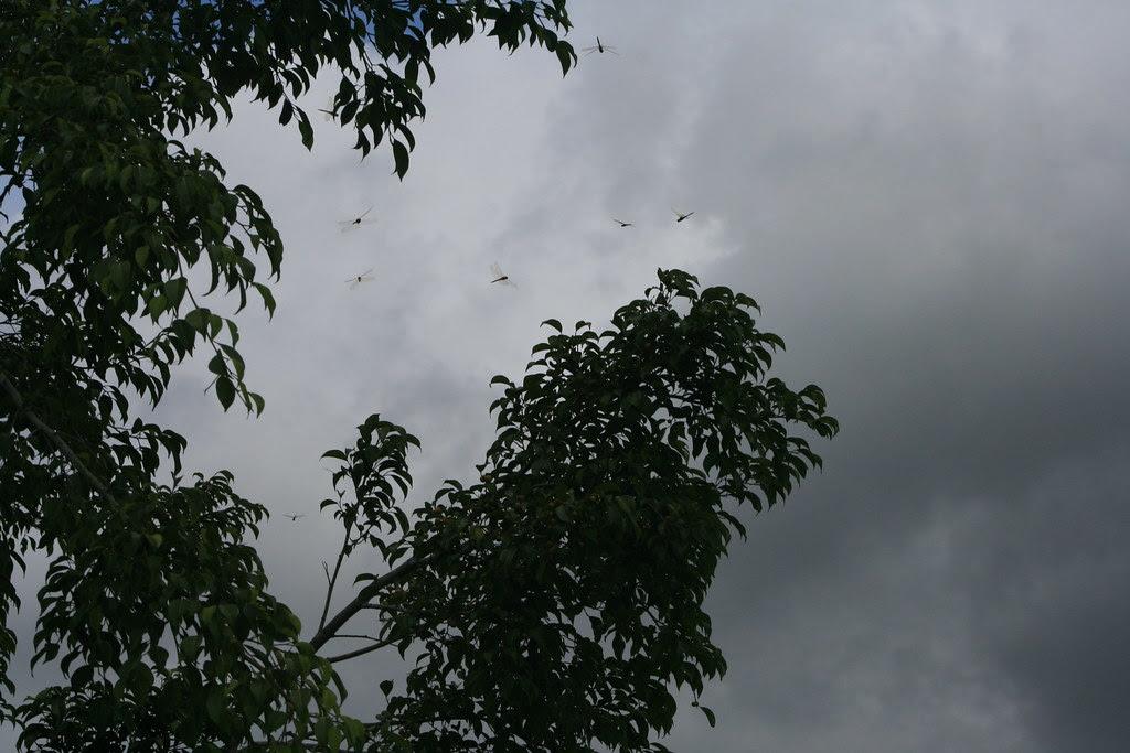 Dragonflies at  Knuckey's Lagoon