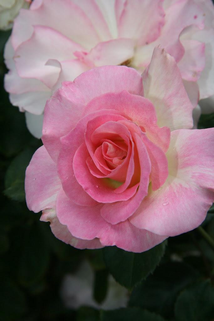 Iron Bank rose