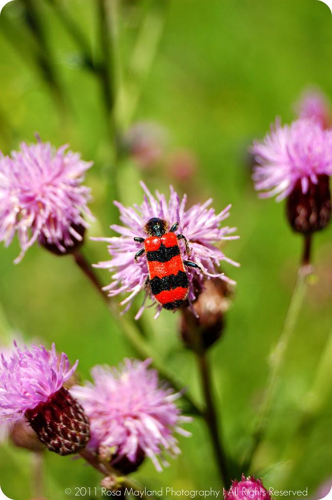 Zopf Bug Flower bis