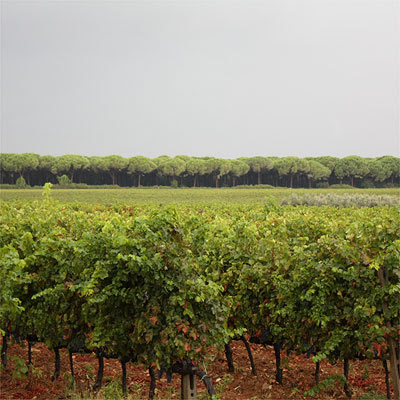 Le Macchiole Bolgheri: the vineyard behind the cellar