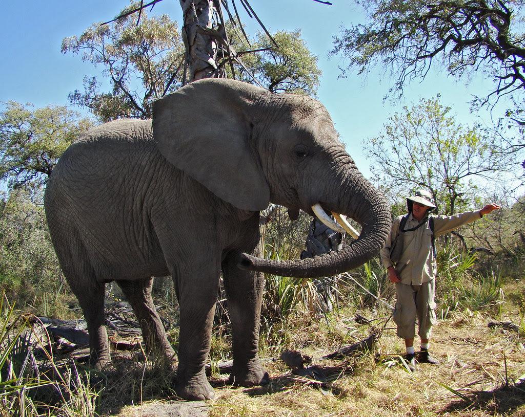 DSC08143 Elephant swinging trunk