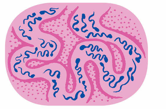 Maturation des spermatozoïdes