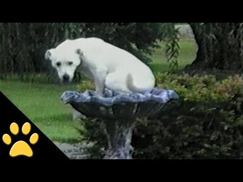 Labradors Being Labs(video compilation)