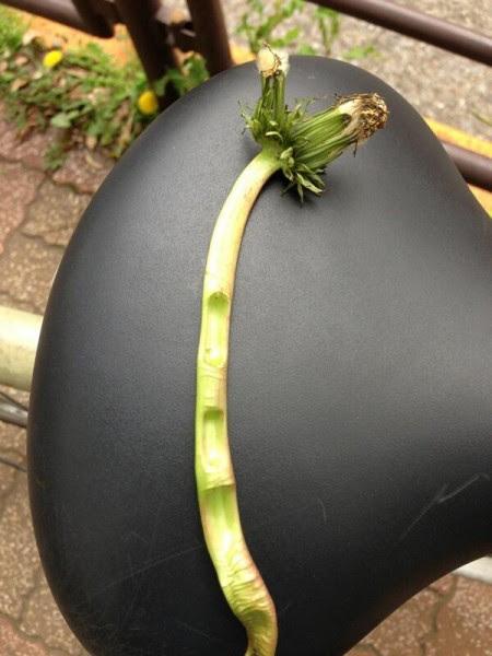 [Not radiation effect] Double headed dandelion is back to Tokyo