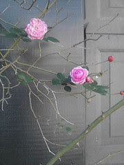 Roses by Teckelcar