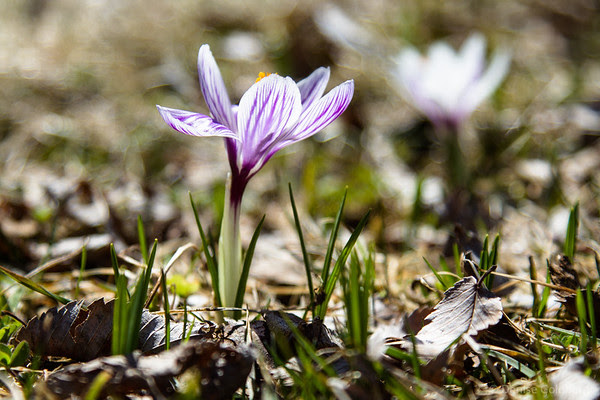 crocus wearing stripes of purple and white