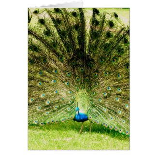 Peacock Display Colours Greeting Card