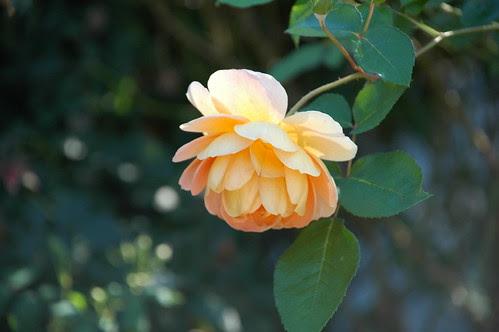 Rose, Narrows Botanical Gardens