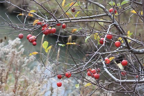 Crab apple tree by creek.