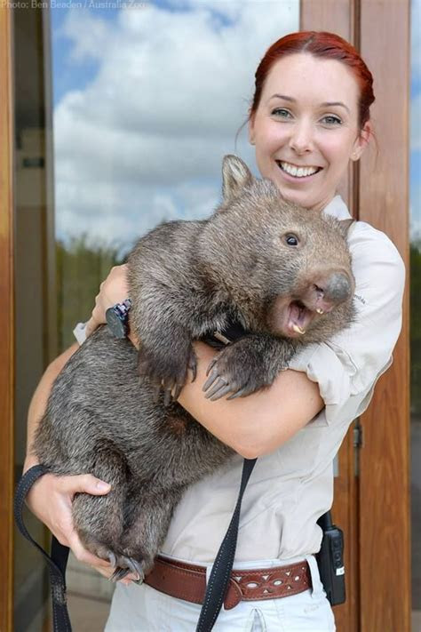 25  best ideas about Wombat on Pinterest   Wombat pictures, Cute wombat and Cute hug