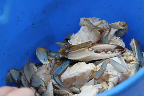 Fresh blue crabs