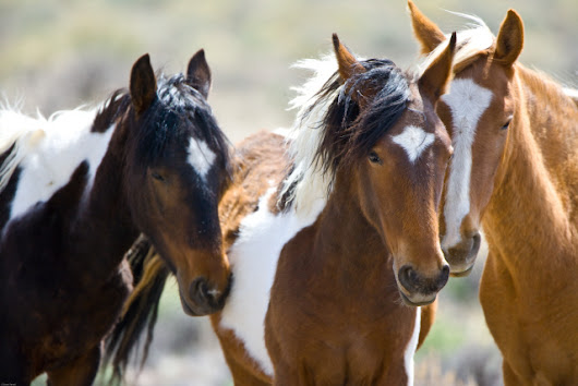 Tell Congress: Thanks for Protecting our Mustangs and Burros from Slaughter