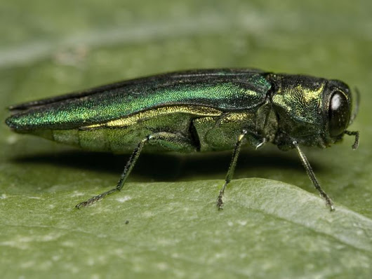 Invasive Ash Borer makes leap to new tree