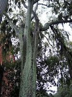 One of many large oak trees in Savannah