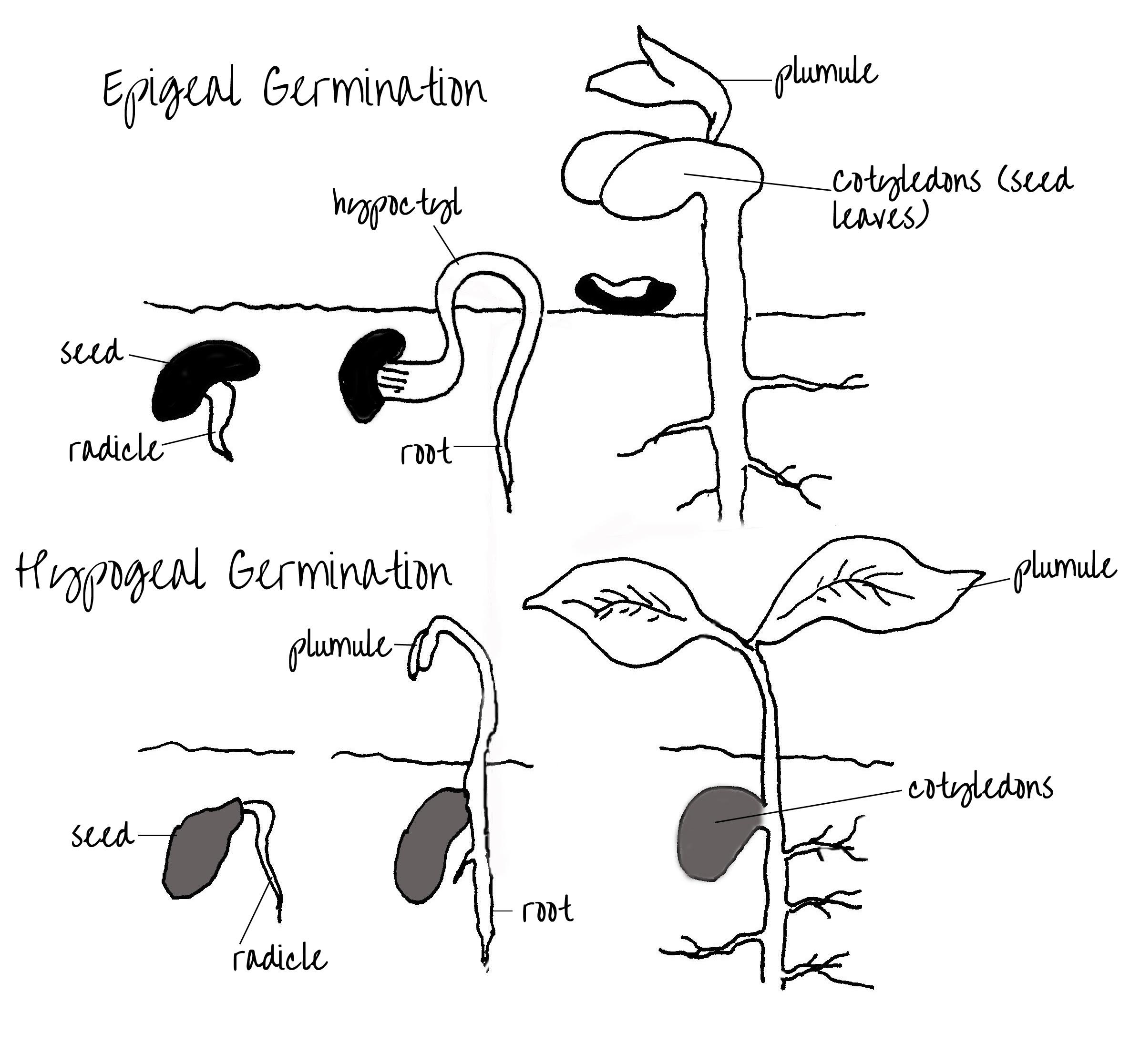 epigeal hypogeal germination