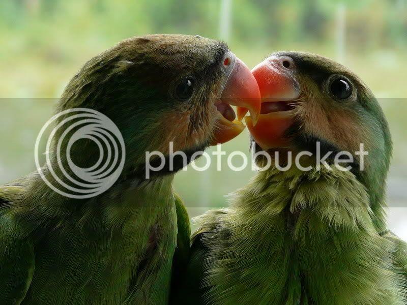 Unduh 92  Gambar Burung Papilo HD Paling Bagus Gratis