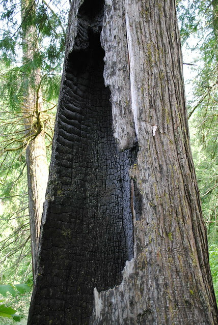 an old-growth tree hollowed out and charred from the 2003 forest fire