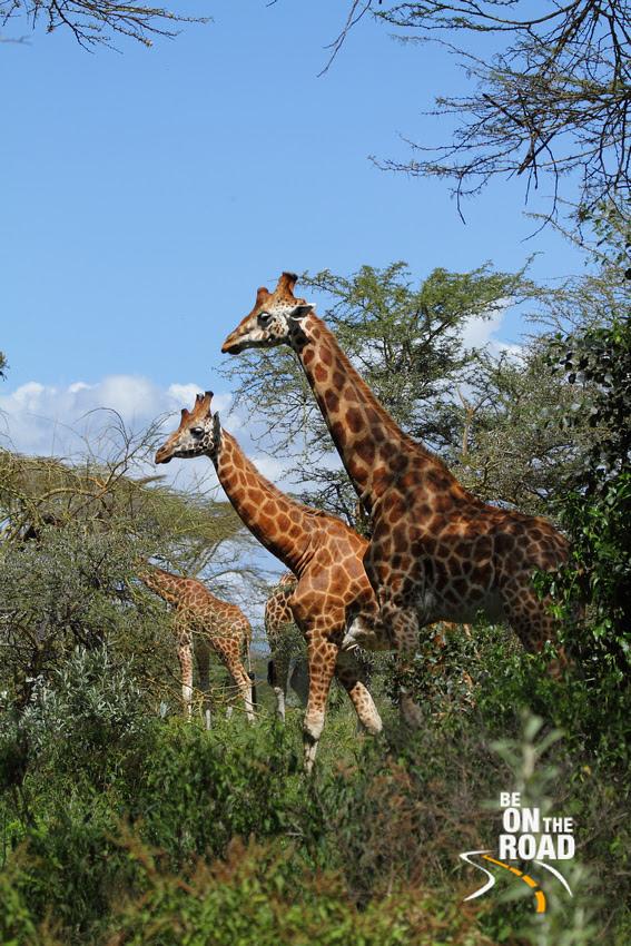 A large herd of Rothchild's Giraffe at Lake Nakuru National Park