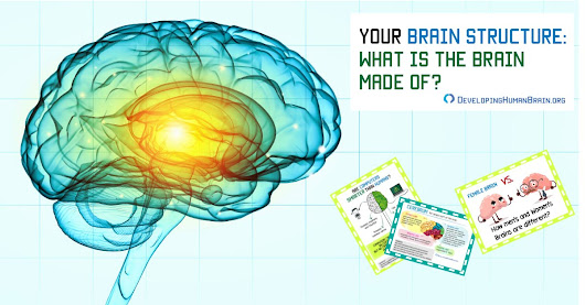 Your Brain Structure – What is the Brain Made Of?