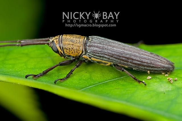 Longhorn Beetle (Cerambycidae) - DSC_6903