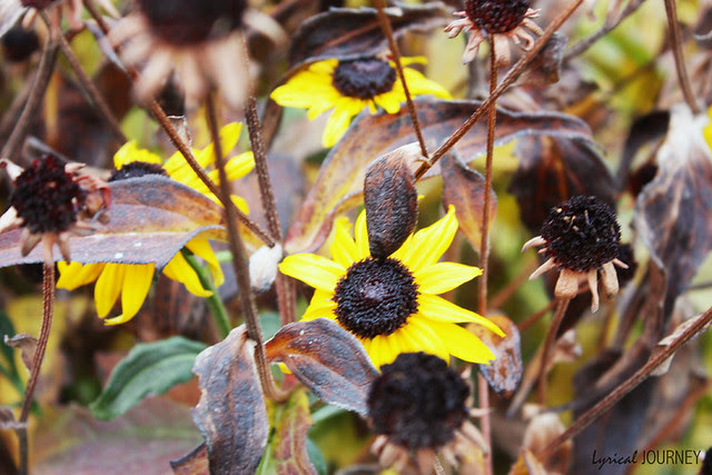 Black Eyed Susan's holding on for life