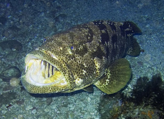 Friday Happy Hour: Giant Grouper Edition - The Triadvocate