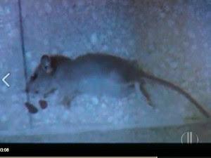 Funcionária bateu foto de rato morto dentro da Maternidade das Quintas, em Natal (Foto: Reprodução/Inter TV Cabugi)