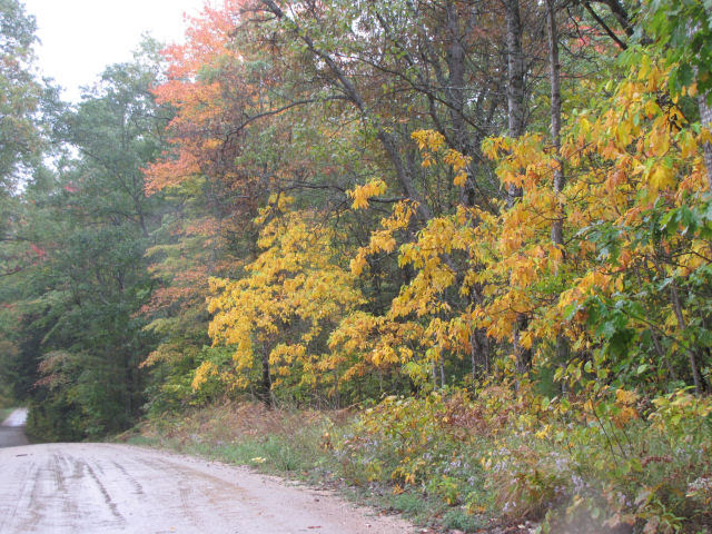 sassafras trees in fall