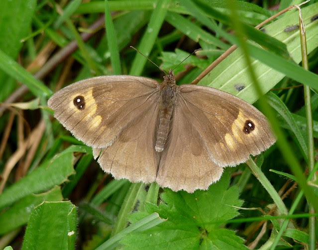 24786 - Meadow Brown, Llangorse Lake