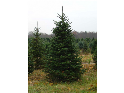 Learn About the Fraser Fir, Another Classic Christmas Tree | Premium Christmas Wreaths