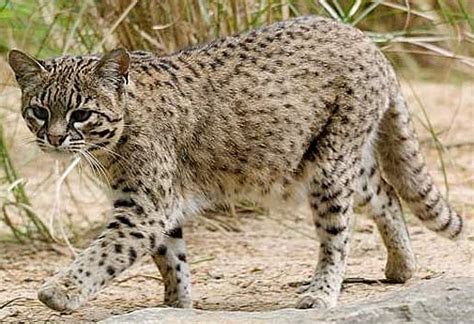 Geoffroy's Cat   Little Amazon Night Stalker   Animal Pictures and Facts   FactZoo.com