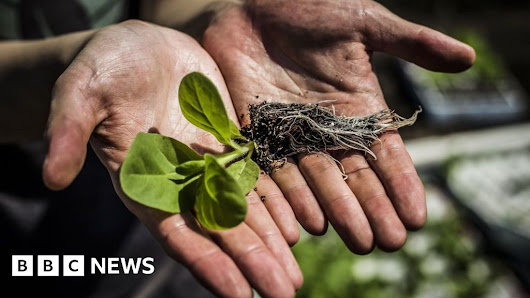 Genetically modified 'shortcut' boosts plant growth by 40% - BBC News