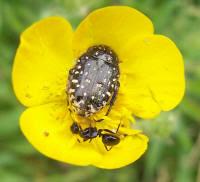 Insectes : Drap mortuaire et fourmi sur renoncule