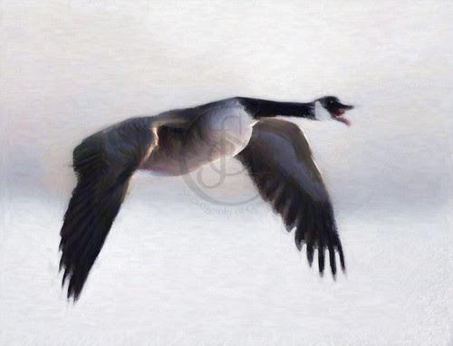 Orillia - Canada Goose in Winter Flight