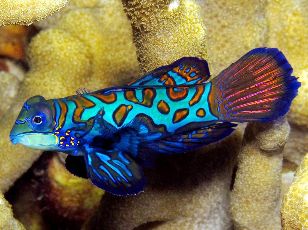 Mandarinfish 17 Рыбка мандаринка