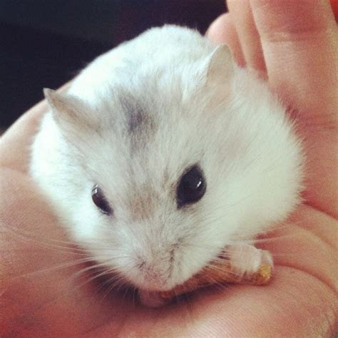 Fluffy hamster :)   Fluffy and Furry   Pinterest   Animal