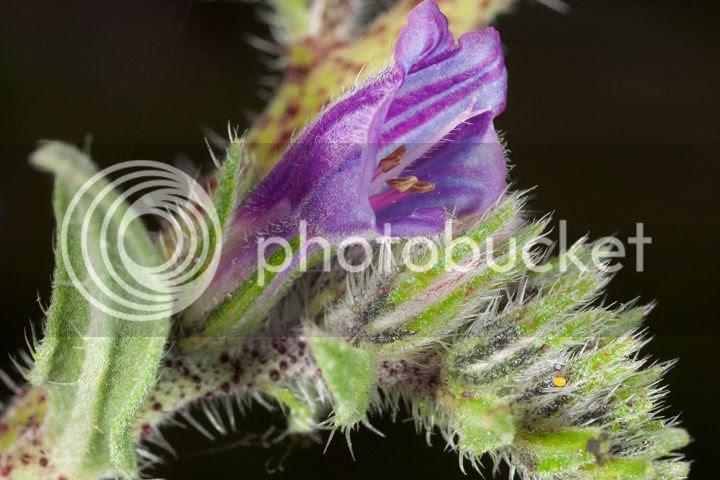 photo flor-ameixoeira_zps4d1d21e7.jpg
