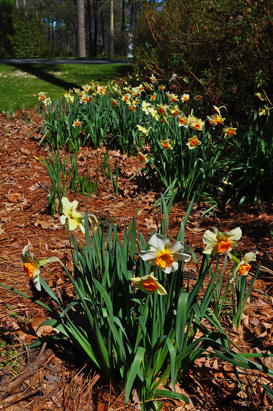 Narcissus Wednesday (5)