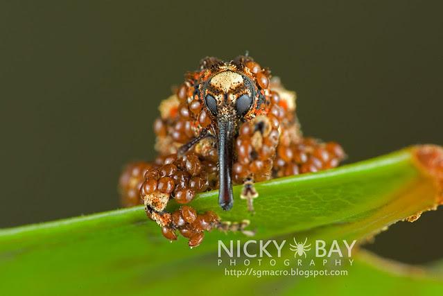Weevil (Curculionidae) - DSC_6603
