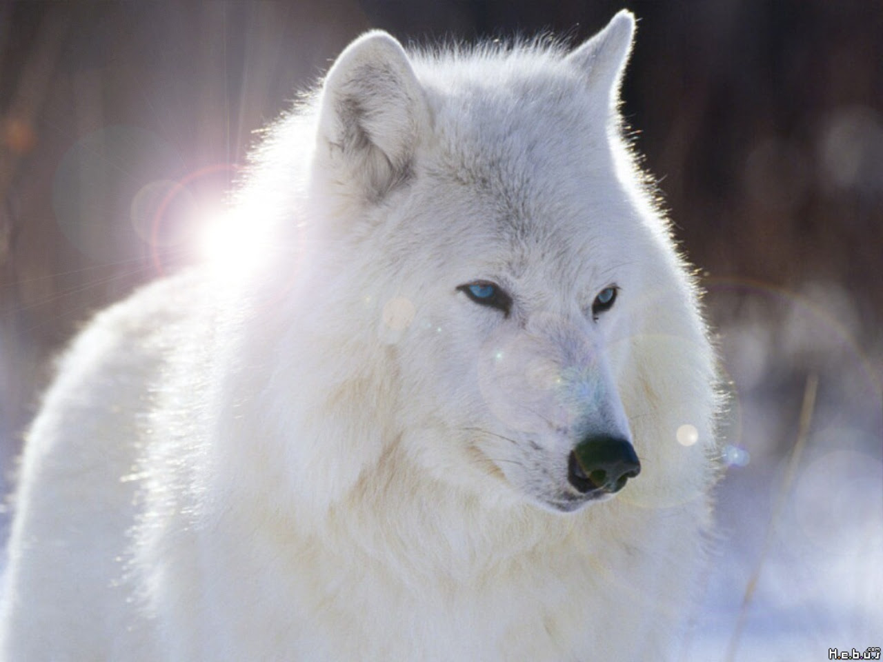 White Wolf With Blue Eyes Wallpaper 4 Renegade Tribune
