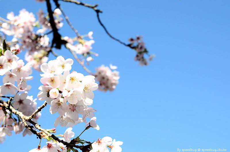 阿里山櫻花季83