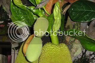 imej daun nangka