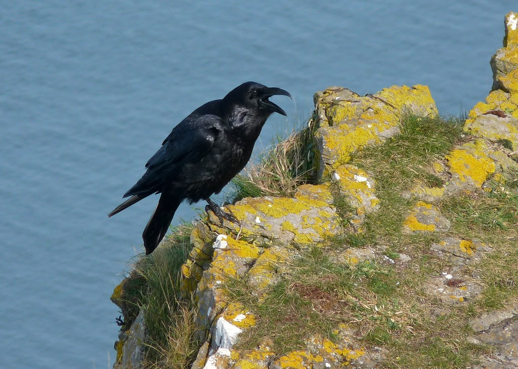 23945 - Raven, Worms Head, Rhossili, Gower