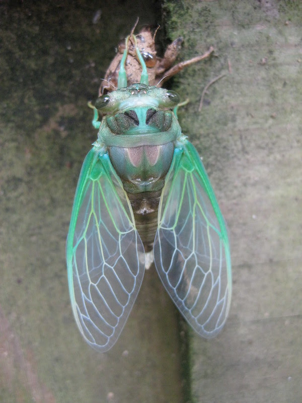 cicada no. 2