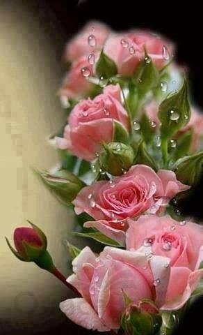 Rosy dew drops
