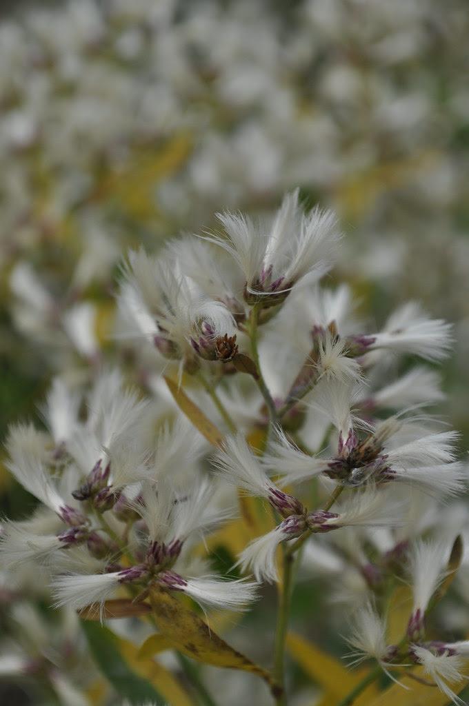 Baccharis halimifolia 2