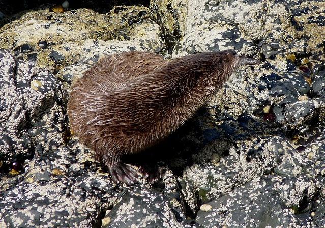 24542 - Otter, Langamull, Isle of Mull