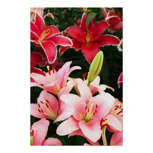 Pink red lily flowers poster
